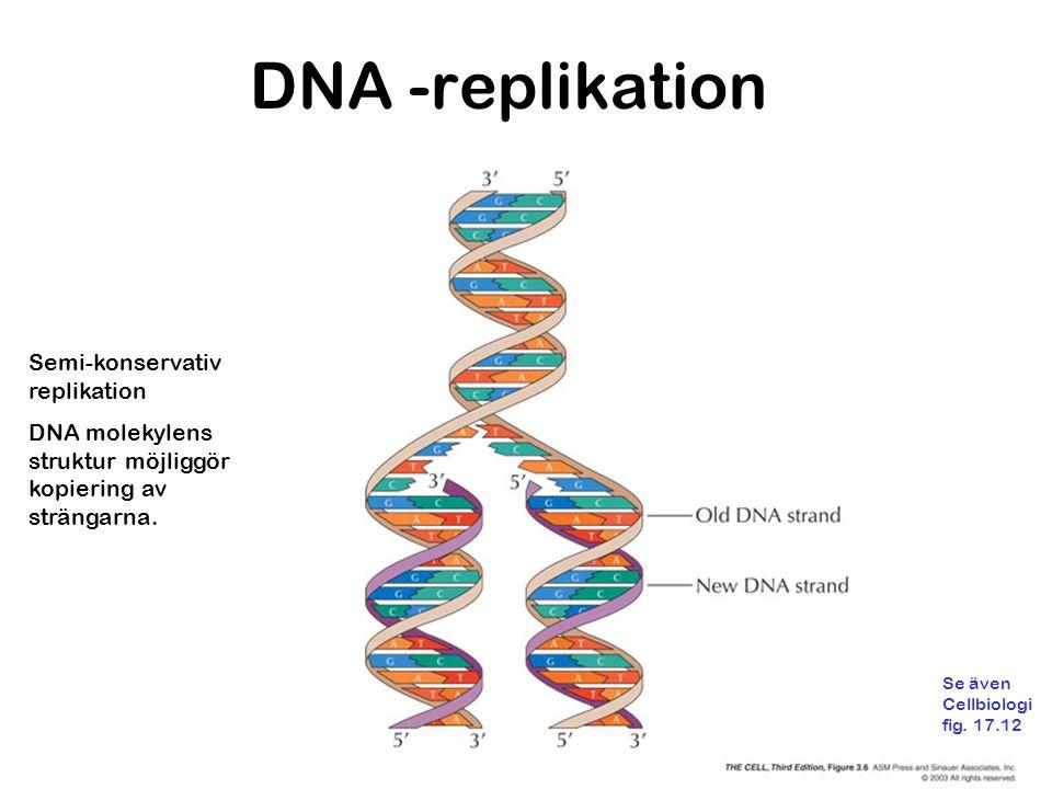 DNA -replikation Semi-konservativ replikation DNA molekylens struktur möjliggör kopiering av strängarna.