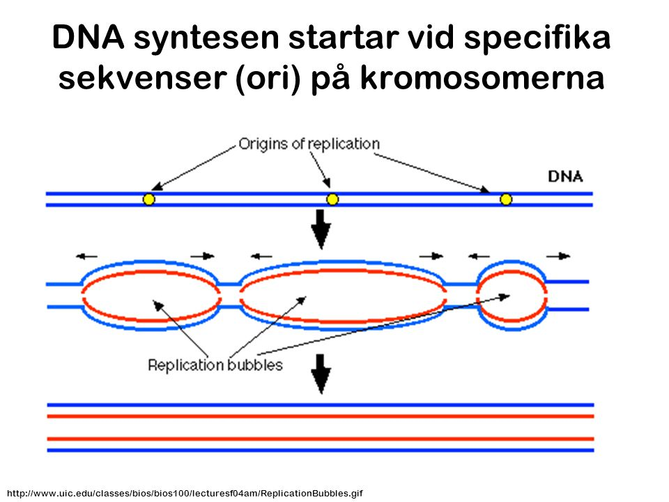 DNA syntesen startar vid specifika sekvenser (ori) på kromosomerna http://www.uic.edu/classes/bios/bios100/lecturesf04am/ReplicationBubbles.gif