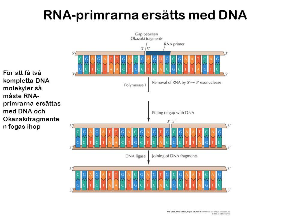 RNA-primrarna ersätts med DNA För att få två kompletta DNA molekyler så måste RNA- primrarna ersättas med DNA och Okazakifragmente n fogas ihop