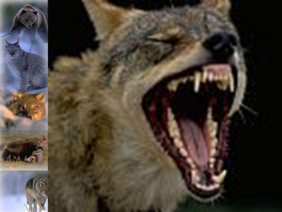 Rovdjur eller inte rovdjur.En prisfråga.