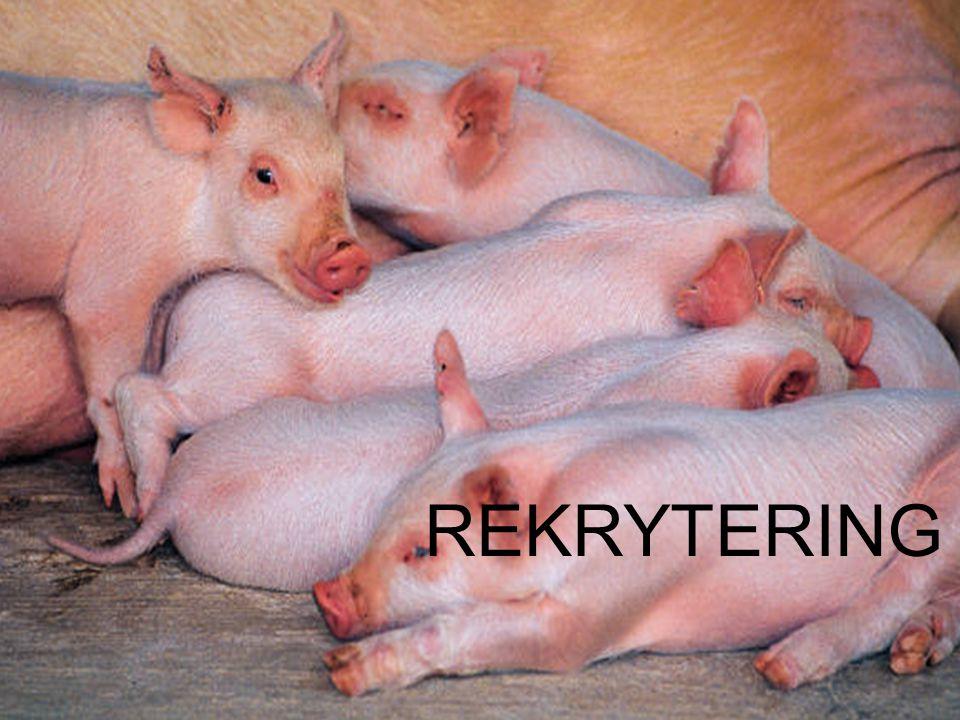 Föreläsningsrubrik / temaUppfödning av gyltor till hållbara suggor i bruksbesättningar Hullbedömning Hullet bör vara medel vid grisning www.infosvin.dk