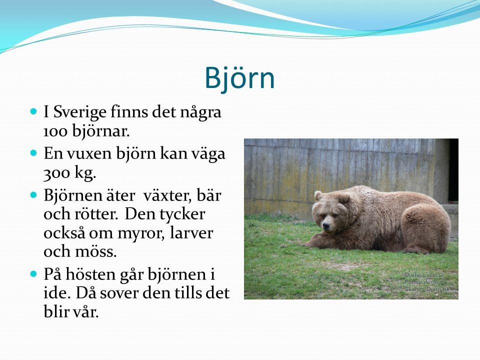 Björn  I Sverige finns det några 100 björnar. En vuxen björn kan väga 300 kg.