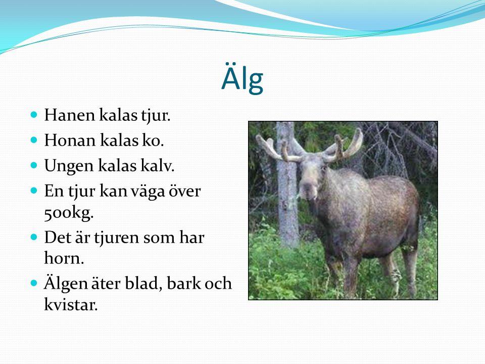 Älg  Hanen kalas tjur.  Honan kalas ko.  Ungen kalas kalv.  En tjur kan väga över 500kg.  Det är tjuren som har horn.  Älgen äter blad, bark och