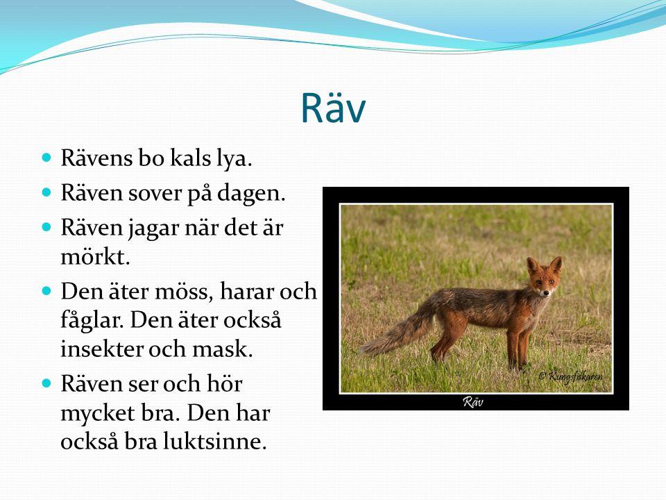 Räv  Rävens bo kals lya. Räven sover på dagen.  Räven jagar när det är mörkt.