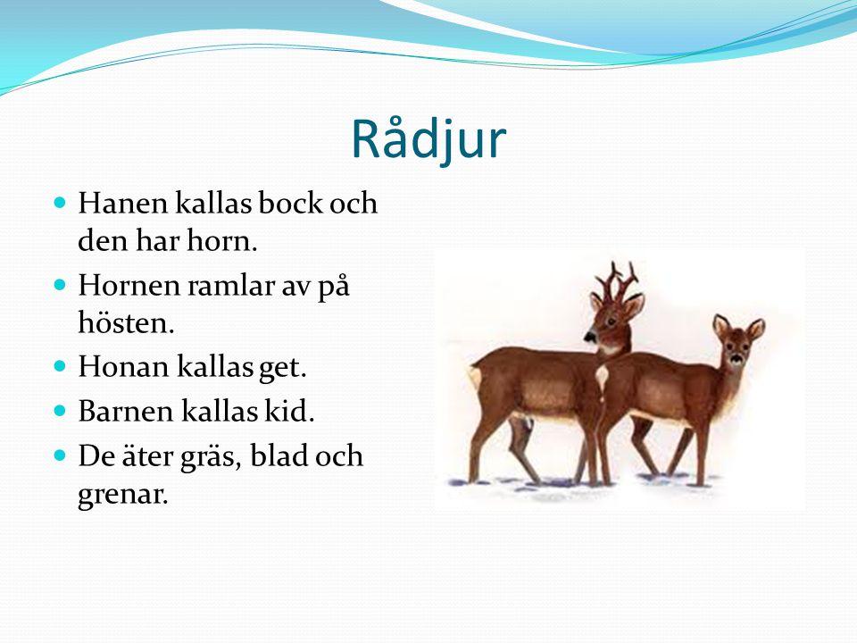 Rådjur  Hanen kallas bock och den har horn.  Hornen ramlar av på hösten.  Honan kallas get.  Barnen kallas kid.  De äter gräs, blad och grenar.