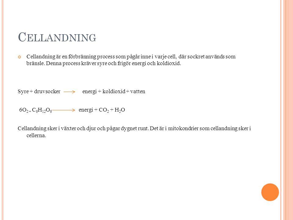C ELLANDNING Cellandning är en förbränning process som pågår inne i varje cell, där sockret används som bränsle.