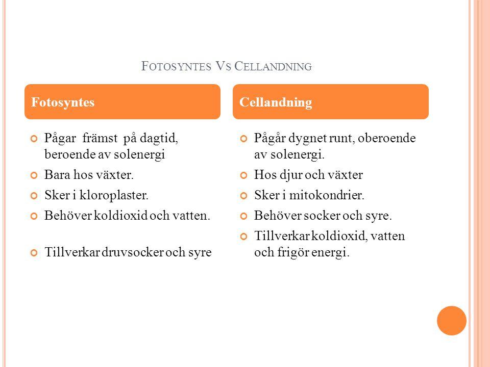 F OTOSYNTES V S C ELLANDNING Pågar främst på dagtid, beroende av solenergi Bara hos växter.