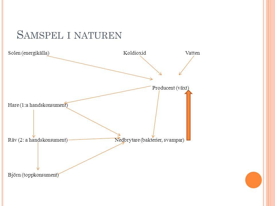 S AMSPEL I NATUREN Solen (energikälla) Koldioxid Vatten Producent (växt) Hare (1:a handskonsument) Räv (2: a handskonsument) Nedbrytare (bakterier, svampar) Björn (toppkonsument)
