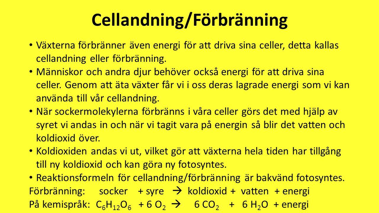 Cellandning/Förbränning • Växterna förbränner även energi för att driva sina celler, detta kallas cellandning eller förbränning. • Människor och andra