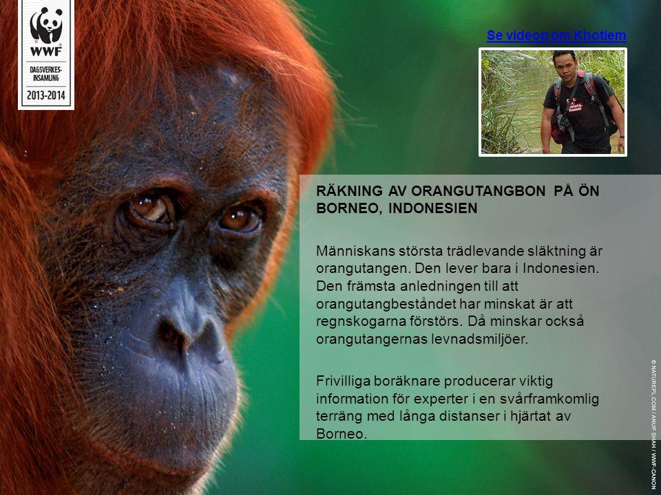Se videon om Khotiem RÄKNING AV ORANGUTANGBON PÅ ÖN BORNEO, INDONESIEN Människans största trädlevande släktning är orangutangen. Den lever bara i Indo