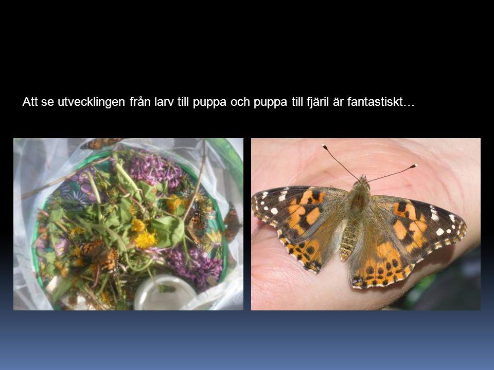 Att se utvecklingen från larv till puppa och puppa till fjäril är fantastiskt…