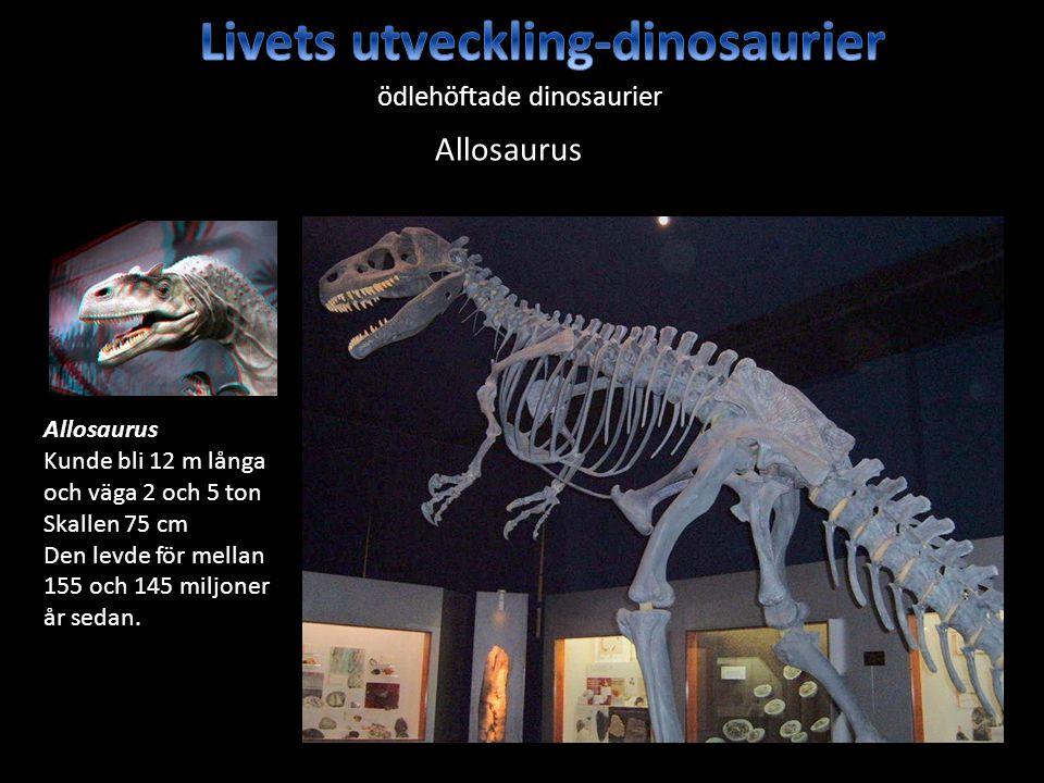 ödlehöftade dinosaurier Allosaurus Kunde bli 12 m långa och väga 2 och 5 ton Skallen 75 cm Den levde för mellan 155 och 145 miljoner år sedan. Allosau