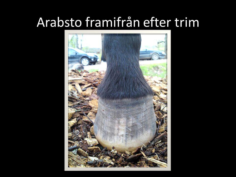 Arabsto framifrån efter trim