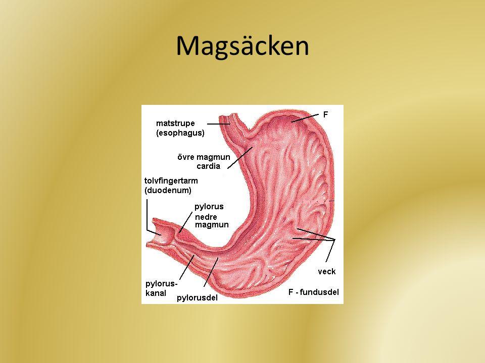 • Lagrar mat för vidare portionering • Bryter ned framförallt proteiner med hjälp av pepsin (enzym) och saltsyra • Mycket sur miljö