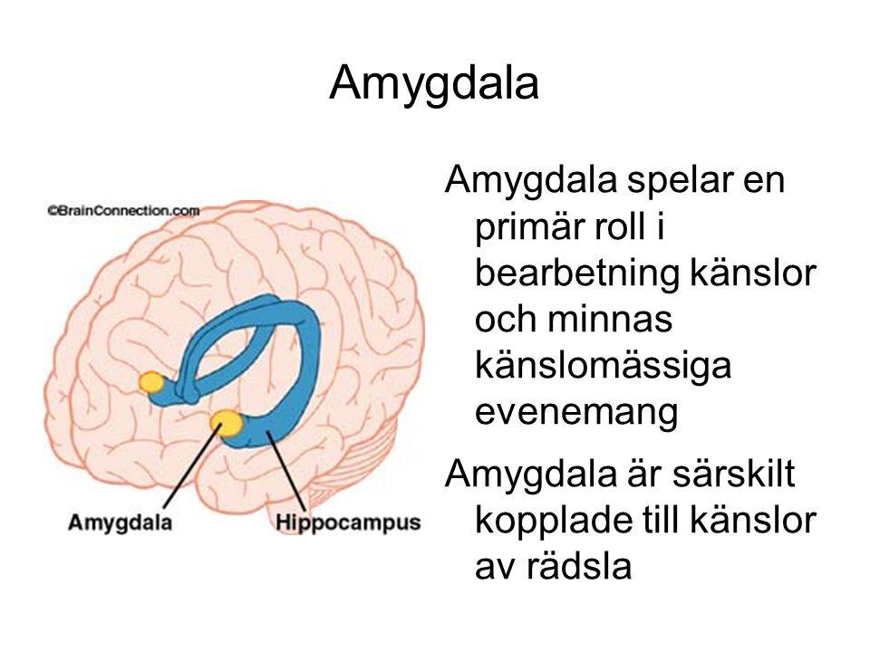 Amygdala Amygdala spelar en primär roll i bearbetning känslor och minnas känslomässiga evenemang Amygdala är särskilt kopplade till känslor av rädsla