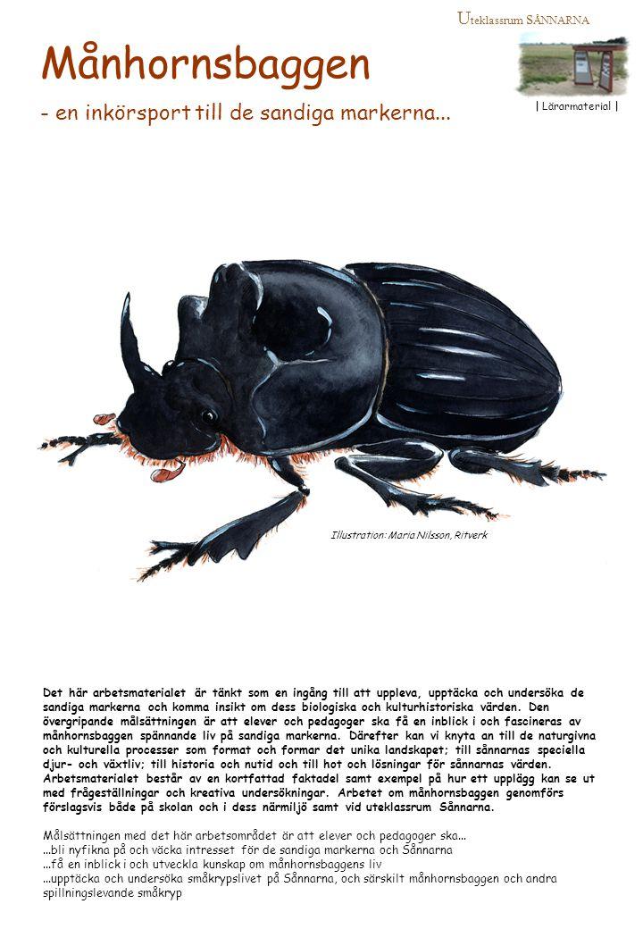 Illustration: Maria Nilsson, Ritverk U teklassrum s ÅNNARNA | Lärarmaterial | Månhornsbaggen - en inkörsport till de sandiga markerna... Det här arbet