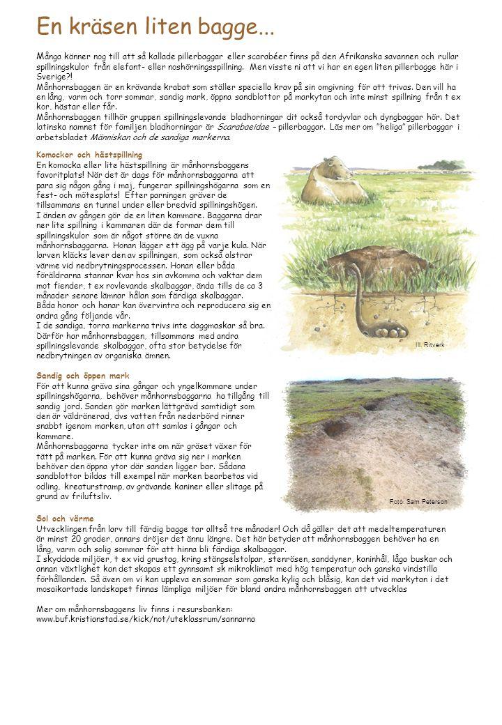 En kräsen liten bagge... M ånga känner nog till att så kallade pillerbaggar eller scarabéer finns på den Afrikanska savannen och rullar spillningskulo