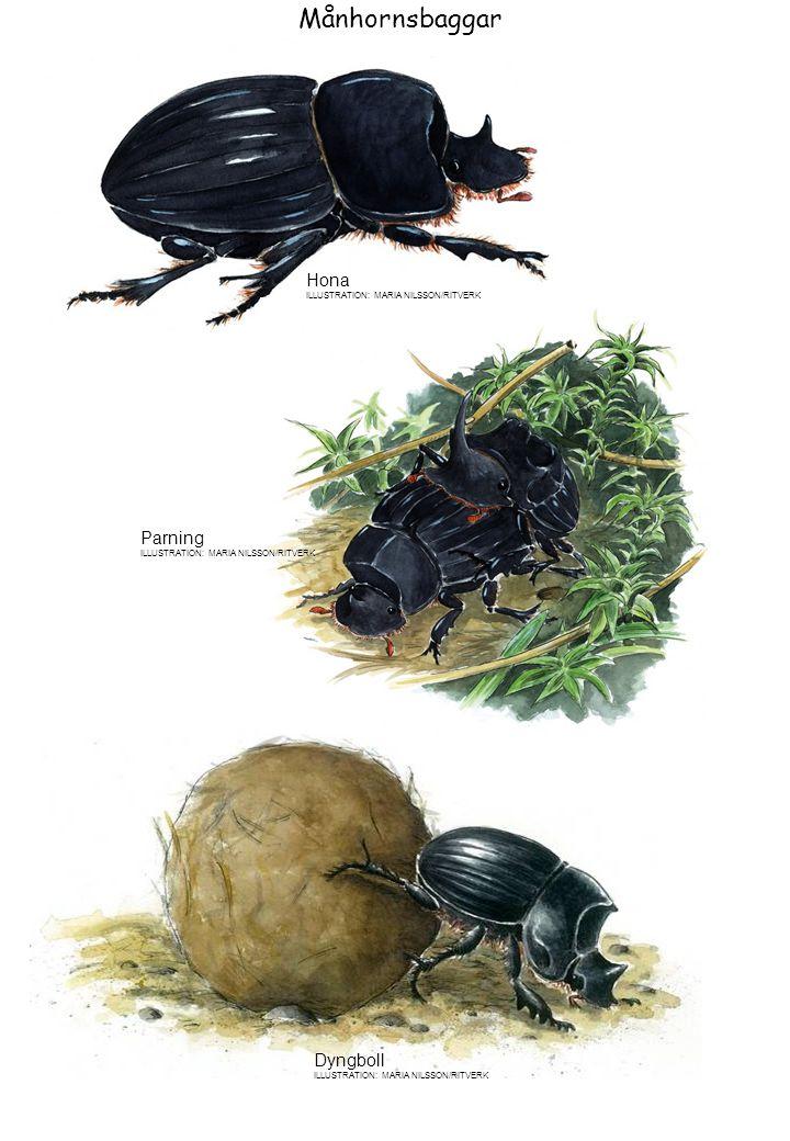Hona ILLUSTRATION: MARIA NILSSON/RITVERK Parning ILLUSTRATION: MARIA NILSSON/RITVERK Dyngboll ILLUSTRATION: MARIA NILSSON/RITVERK Månhornsbaggar