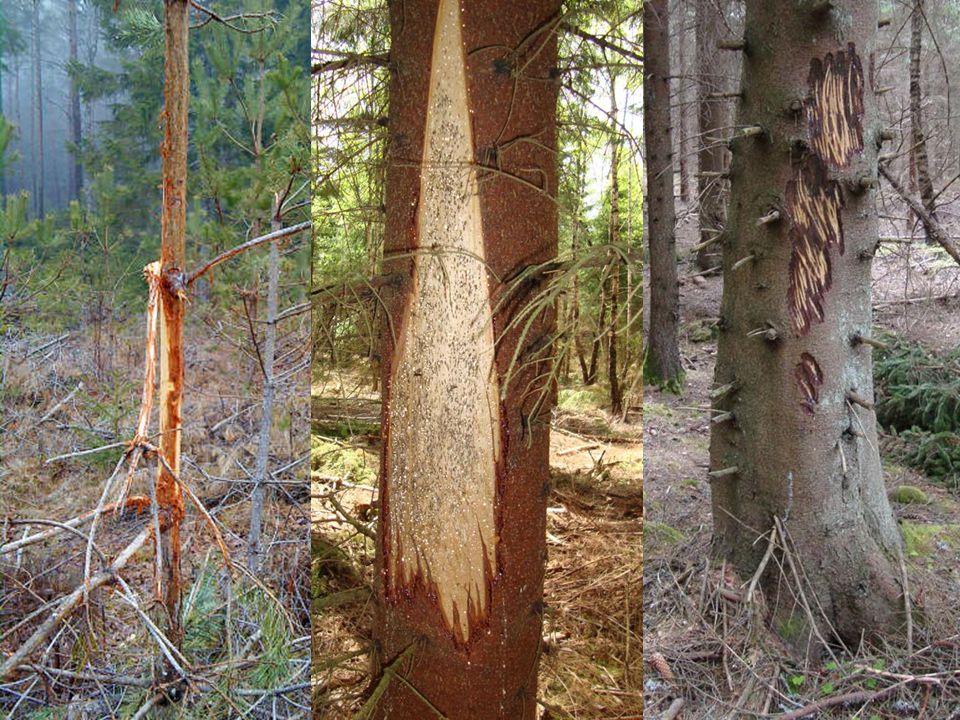 Skador på träd •Bete på skott / blad, barkgnag, stambrott, tramp och fejningsskador