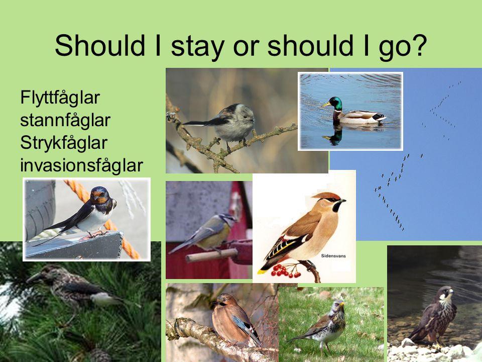 Should I stay or should I go? Flyttfåglar stannfåglar Strykfåglar invasionsfåglar