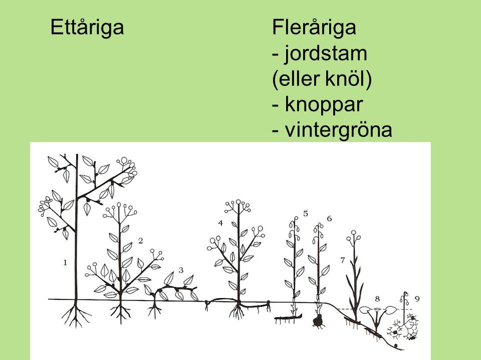 2:1.Ettåriga växter Dessa växter klarar inte av vintern och dör.
