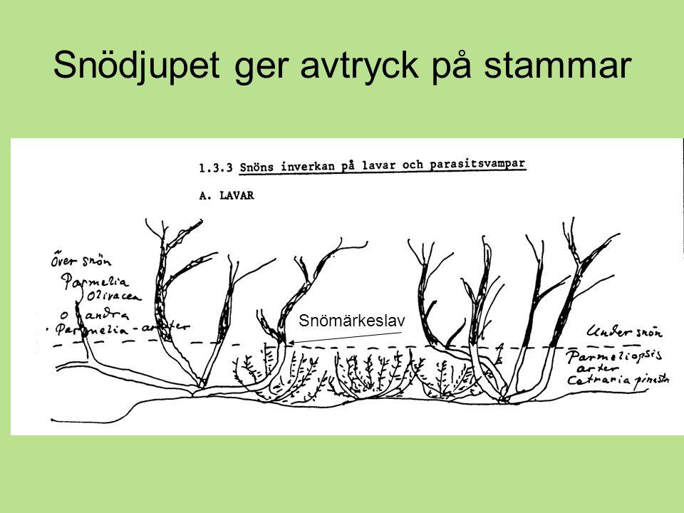 Snödjupet ger avtryck på stammar Snömärkeslav