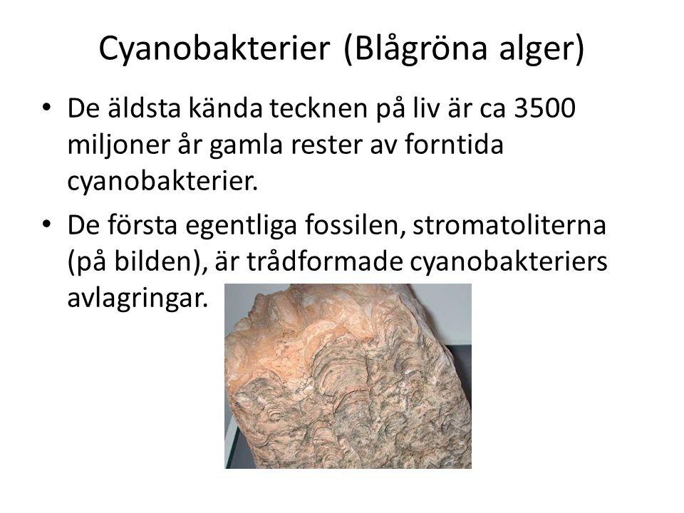 Cyanobakterier (Blågröna alger) • De äldsta kända tecknen på liv är ca 3500 miljoner år gamla rester av forntida cyanobakterier.