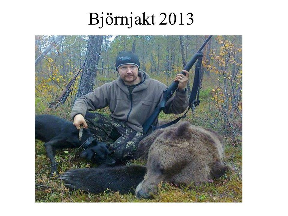 Björnjakt 2013