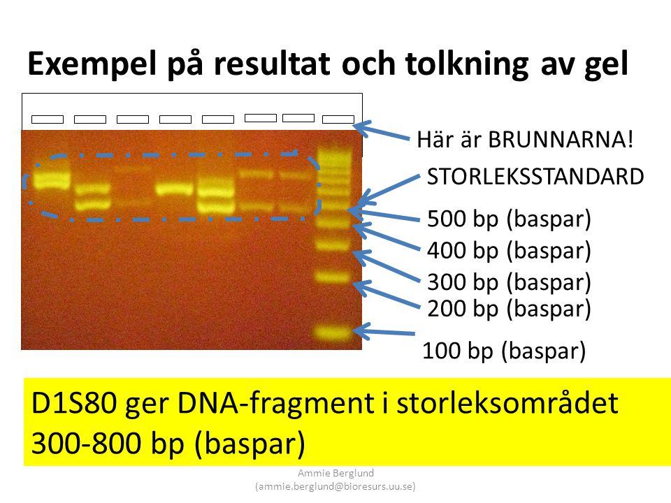 Exempel på resultat och tolkning av gel Här är BRUNNARNA! STORLEKSSTANDARD 100 bp (baspar) 200 bp (baspar) 300 bp (baspar) 400 bp (baspar) 500 bp (bas