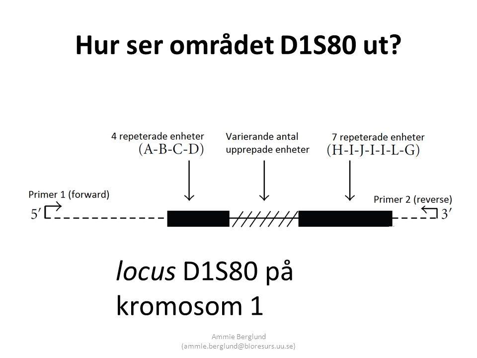 Hur ser området D1S80 ut? locus D1S80 på kromosom 1 Ammie Berglund (ammie.berglund@bioresurs.uu.se)