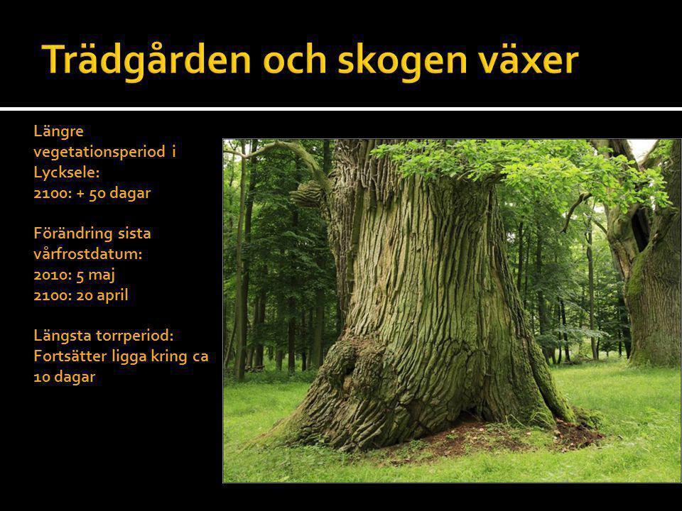 Längre vegetationsperiod i Lycksele: 2100: + 50 dagar Förändring sista vårfrostdatum: 2010: 5 maj 2100: 20 april Längsta torrperiod: Fortsätter ligga