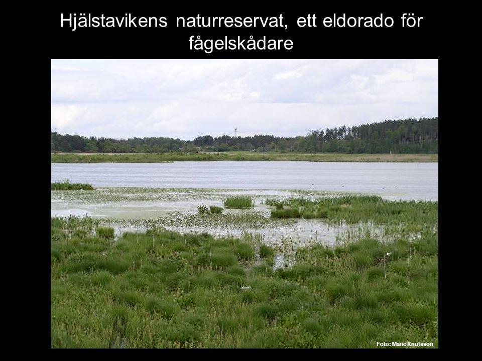Hjälstavikens naturreservat, ett eldorado för fågelskådare Foto: Marie Knutsson