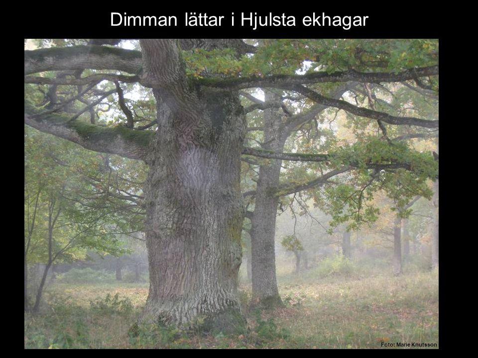 Höstskrud………. Dimman lättar i Hjulsta ekhagar Foto: Marie Knutsson