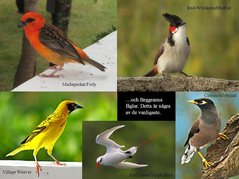 …och färggranna fåglar. Detta är några av de vanligaste. Village Weaver Madagaskar Fody Common Mynah Red-Whiskered Bulbul Red Tailed Tropic Bird