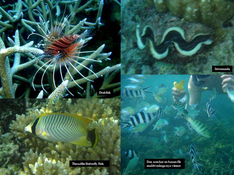 Drakfisk Den som har en banan får snabbt många nya vänner. Jättemussla Threadfin Butterfly Fish