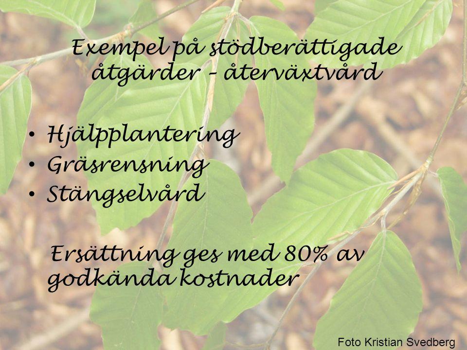 Exempel på stödberättigade åtgärder – återväxtvård • Hjälpplantering • Gräsrensning • Stängselvård Ersättning ges med 80% av godkända kostnader Foto K
