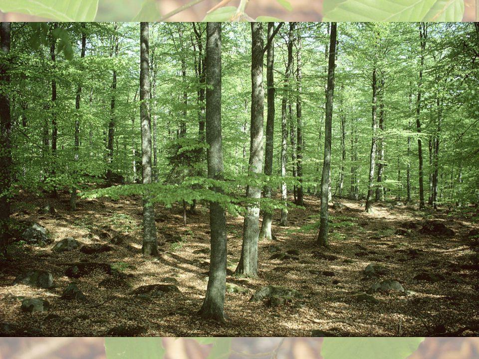 Ädellövstödet • Till skötsel av ädellövskog – Återväxtåtgärder 80 % av kostnad – Röjning 60 % av kostnad – Fastighet taxerad som lantbruksenhet – Sök innan åtgärd – Åtgärder kan göras som eget arbete eller av entreprenör – Exempel: markberedning, stängsling och plantering av ek