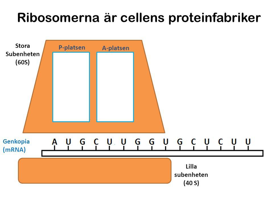 P-platsen A-platsen Stora Subenheten (60S) Lilla subenheten (40 S) Metionin Leucin Glycin Translationen Genkopia (mRNA) Peptidbindning Gjord av: Niklas Dahrén 1.Initiering (start av translationen) 2.Elongering (förlängning av aminosyrakedjan) 3.Terminering (translationen avslutas) Kodon= tre kvävebaser som kodar för en specifik aminosyra Antikodon= tre kvävebaser som kan baspara till ett komplementärt kodon på mRNA:t.