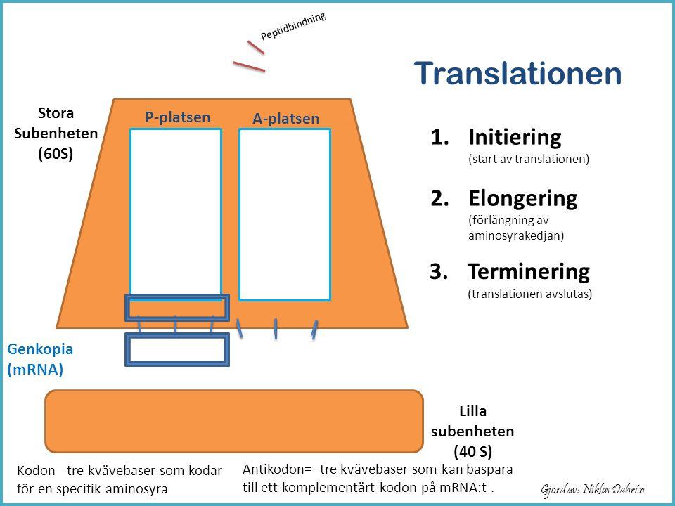 P-platsen A-platsen Stora Subenheten (60S) Lilla subenheten (40 S) Metionin Leucin Glycin Translationen Genkopia (mRNA) Peptidbindning Gjord av: Nikla