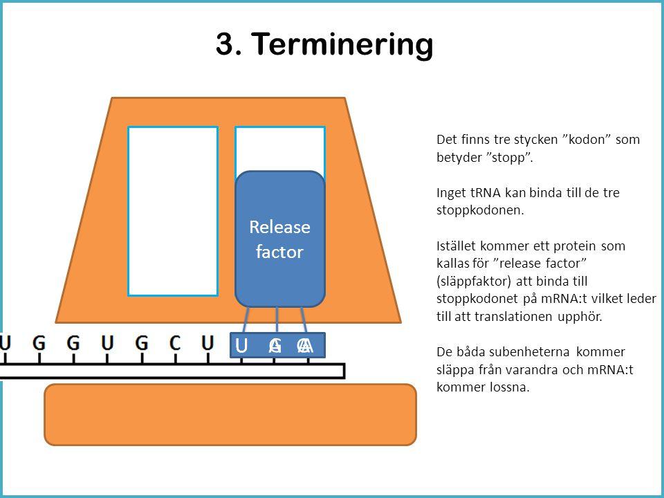 """3. Terminering Release factor U A AU A GU G A Det finns tre stycken """"kodon"""" som betyder """"stopp"""". Inget tRNA kan binda till de tre stoppkodonen. Iställ"""