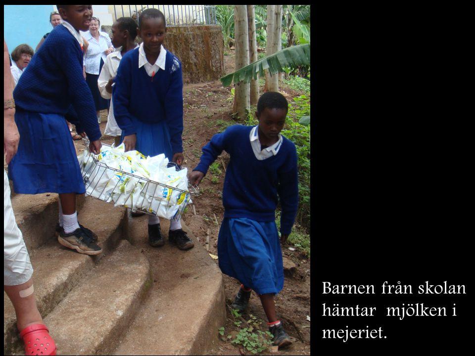 Barnen från skolan hämtar mjölken i mejeriet.