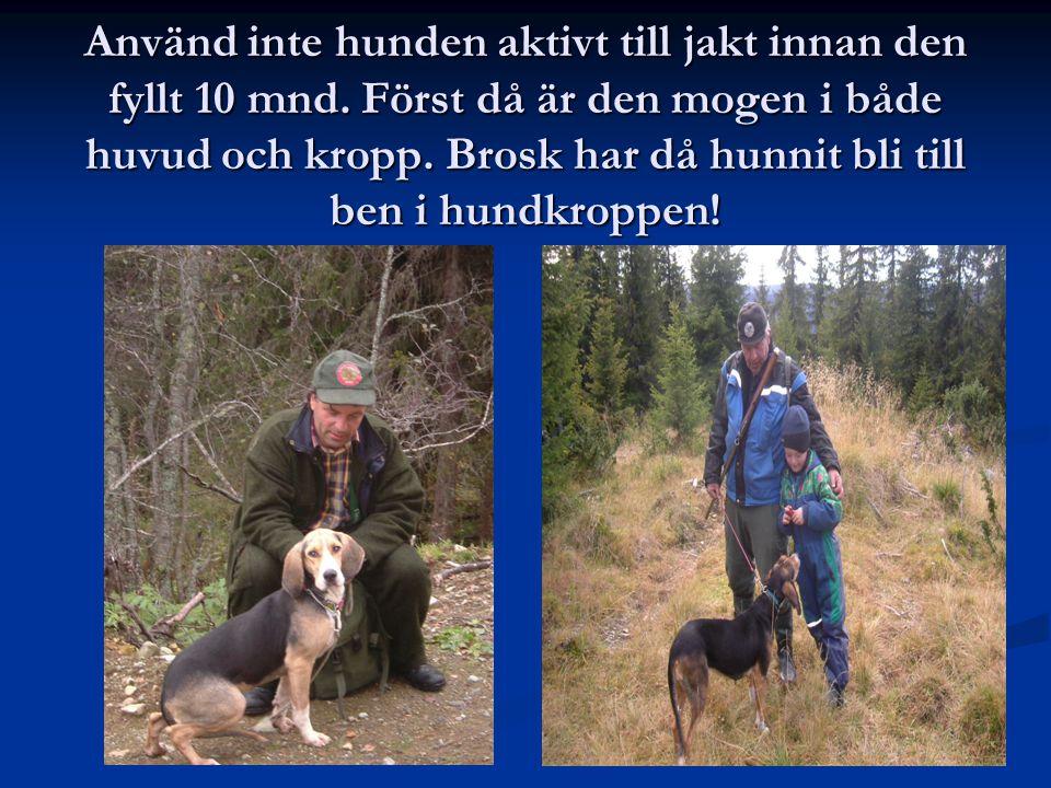 Använd inte hunden aktivt till jakt innan den fyllt 10 mnd. Först då är den mogen i både huvud och kropp. Brosk har då hunnit bli till ben i hundkropp