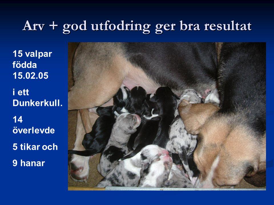 Arv + god utfodring ger bra resultat 15 valpar födda 15.02.05 i ett Dunkerkull. 14 överlevde 5 tikar och 9 hanar
