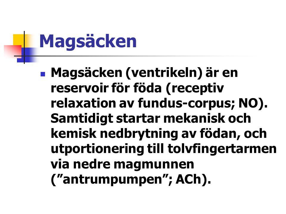 Magsäcken  Magsäcken (ventrikeln) är en reservoir för föda (receptiv relaxation av fundus-corpus; NO).