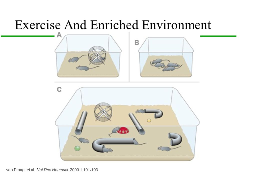 Exercise And Enriched Environment A B C van Praag, et al. Nat Rev Neurosci. 2000:1:191-193