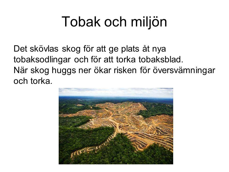 Tobak och miljön Det skövlas skog för att ge plats åt nya tobaksodlingar och för att torka tobaksblad. När skog huggs ner ökar risken för översvämning