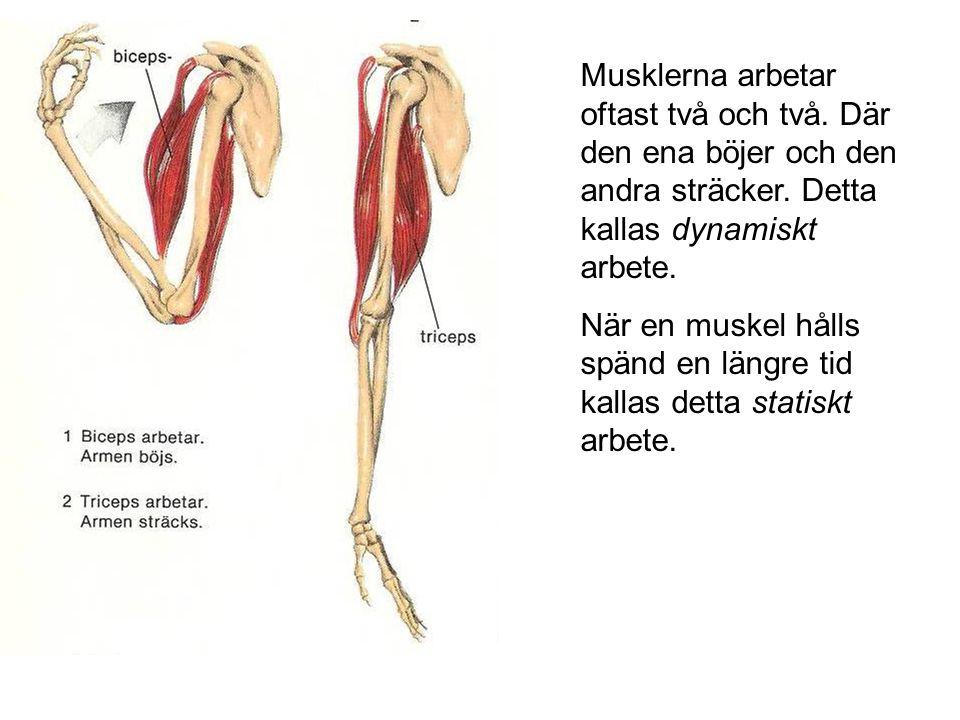 Musklerna arbetar oftast två och två. Där den ena böjer och den andra sträcker. Detta kallas dynamiskt arbete. När en muskel hålls spänd en längre tid