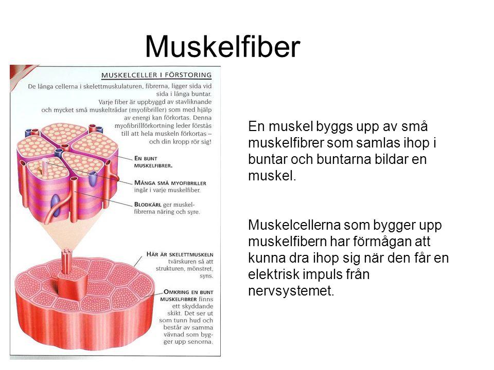 Muskelfiber En muskel byggs upp av små muskelfibrer som samlas ihop i buntar och buntarna bildar en muskel. Muskelcellerna som bygger upp muskelfibern