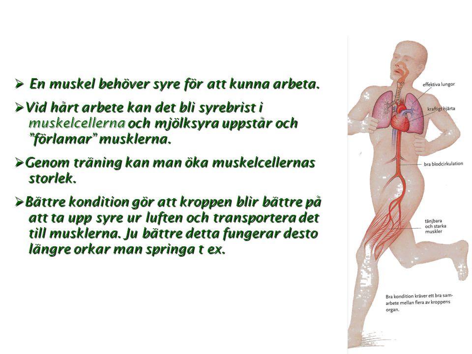 """ E E E En muskel behöver syre för att kunna arbeta.  V V V Vid hårt arbete kan det bli syrebrist i muskelcellerna och mjölksyra uppstår och """"f"""