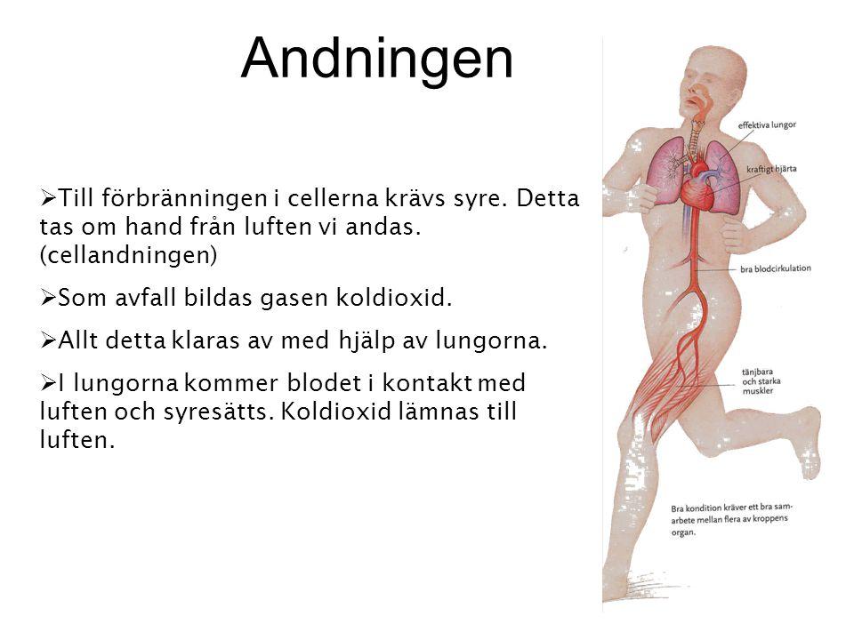  Till förbränningen i cellerna krävs syre. Detta tas om hand från luften vi andas. (cellandningen)  Som avfall bildas gasen koldioxid.  Allt detta